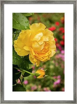 Rose, Julia Child Framed Print