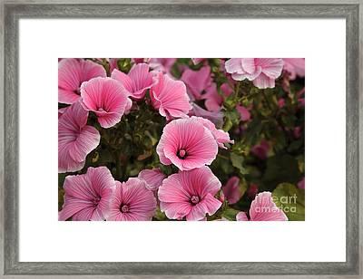 Rose Mallow Flowers Framed Print by Erin Paul Donovan