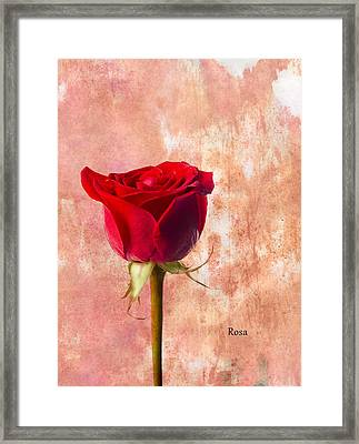 Rose Framed Print by Mark Rogan