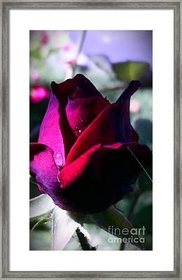 Rose Of Love Framed Print