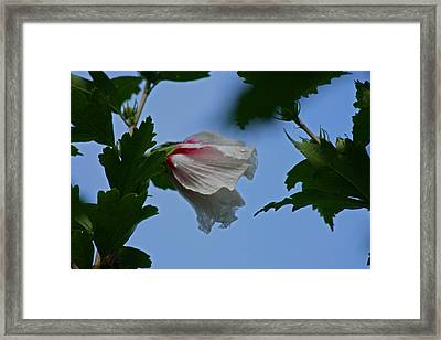 Rose Of Sharon After The Rain Framed Print by Martin Morehead