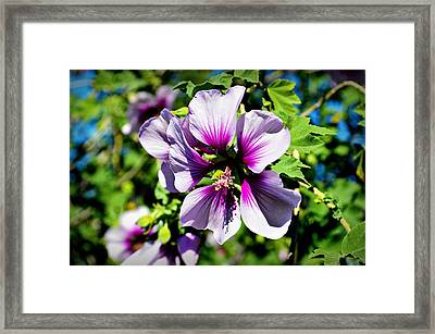 Rose Of Sharon - Blue Hibiscus Framed Print by Glenn McCarthy Art and Photography