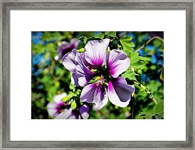 Rose Of Sharon - Blue Hibiscus Framed Print