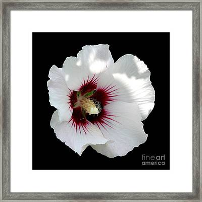 Rose Of Sharon Flower And Bumble Bee Framed Print by Rose Santuci-Sofranko