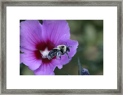 Rose Of Sharon  Framed Print by Patricia Montgomery