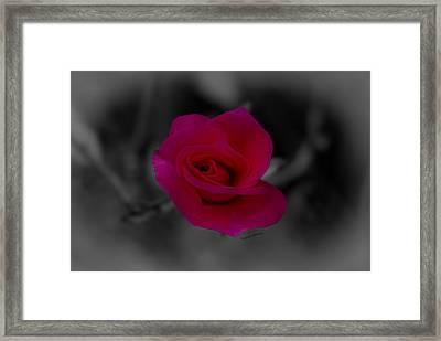 Rose Of Solitude Framed Print