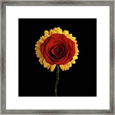 Rose On Yellow Flower Black Background Framed Print by Sergey Taran