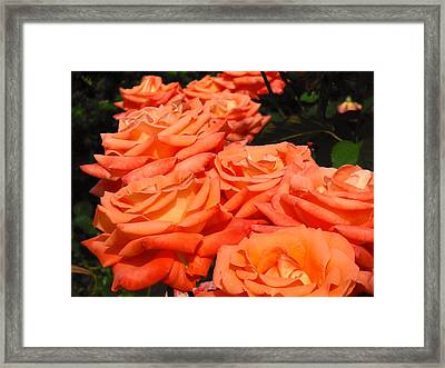 Rose Path Jubilee Framed Print