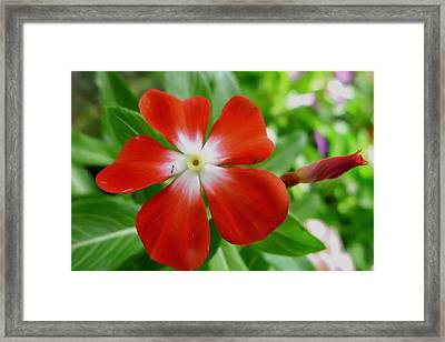 Rose Periwinkle Framed Print by Lanjee Chee