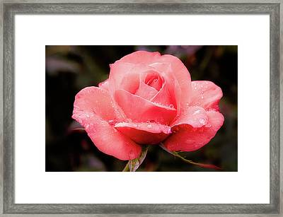 Framed Print featuring the photograph Rose Petals And Drops by Julie Palencia