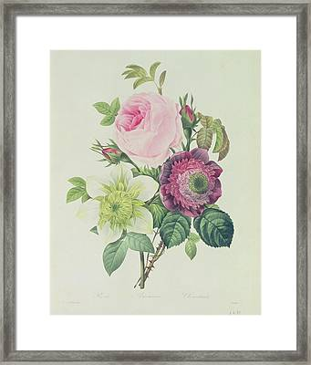 Rose Framed Print by Pierre Joseph Redoute