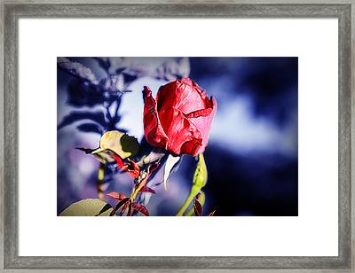 Framed Print featuring the photograph Rose by Ryan Smith