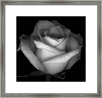 Rose Scan Day 3 No Lid Black And White Framed Print by Paul Shefferly