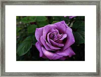 Rose Sissi  Framed Print by Daniel Arrhakis