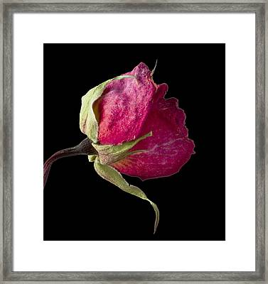 Rose Still Life Framed Print by Robert Ullmann