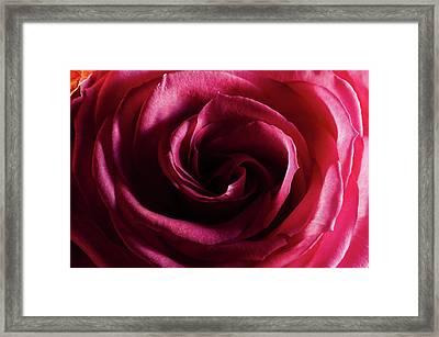 Rose Study 1 Framed Print