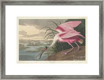 Roseate Spoonbill, 1836  Framed Print by John James Audubon