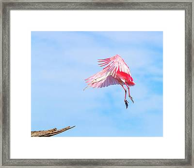 Roseate Spoonbill Final Approach Framed Print by Mark Andrew Thomas