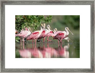 Roseate Spoonbill Flock Wading In Pond Framed Print