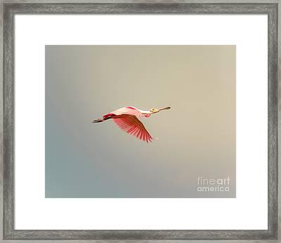 Roseate Spoonbill Flying Framed Print by Robert Frederick