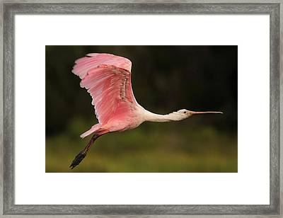 Roseate Spoonbill In Flight Framed Print by Phil Lanoue