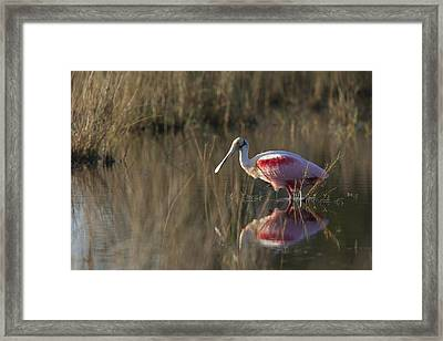 Roseate Spoonbill In Morning Light Framed Print