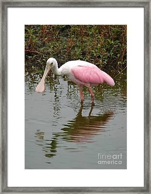 Roseate Spoonbill In Pond Framed Print