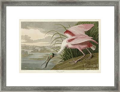 Roseate Spoonbill Framed Print by MotionAge Designs
