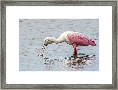 Framed Print featuring the photograph Roseate Spoonbill by Paul Freidlund