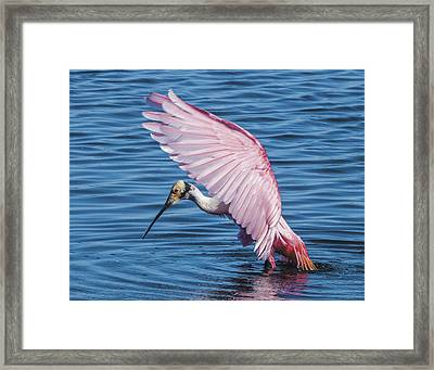 Roseate Spoonbill Profile With Wings Over Her Head Framed Print
