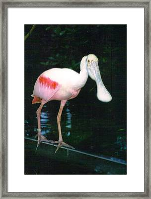 Roseate Spoonbill  Framed Print by Warren Thompson