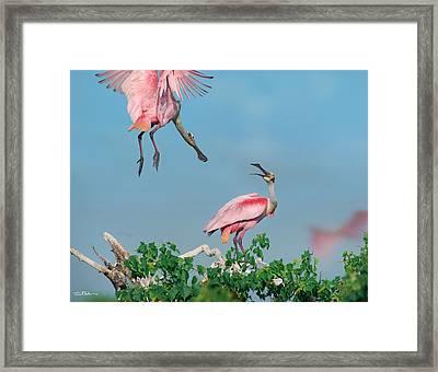 Roseate Spoonbills Framed Print by Tim Fitzharris