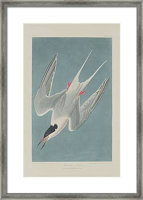 Roseate Tern Framed Print by Rob Dreyer