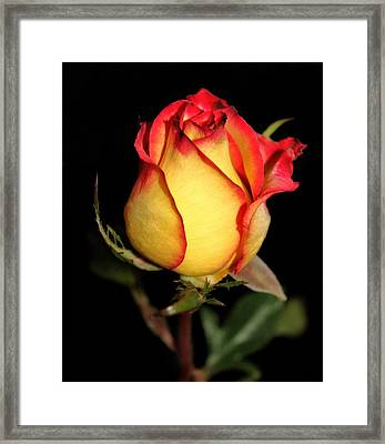 Rosebud Framed Print by Cathie Tyler