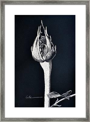Rosebud Framed Print by Diane Cutter