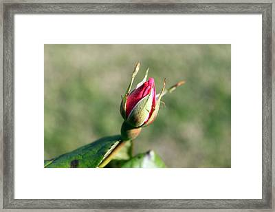 Rosebud Framed Print by Evelyn Patrick