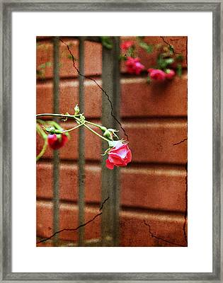 Rosebud On The Fence Framed Print by Cathie Tyler