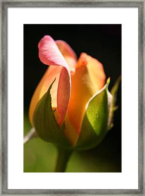 Rosebud Framed Print by PIXELS  XPOSED Ralph A Ledergerber Photography