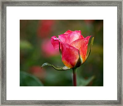 Rosebud Framed Print by Rona Black