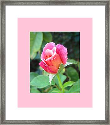 Rosebud With Border Framed Print