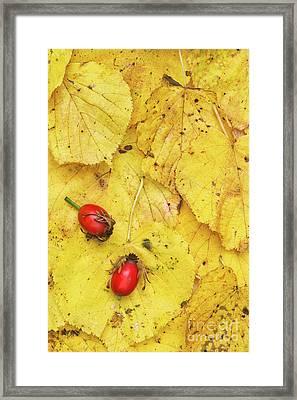 Rosehips And Birch Leaves Framed Print