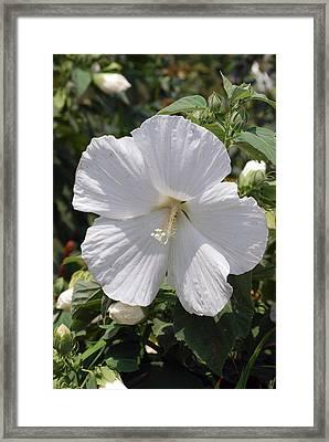 Rosemallow Framed Print
