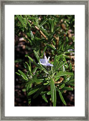 Rosemary Flower Framed Print by Aidan Moran