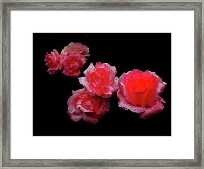 Roses And Rain Framed Print