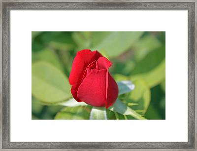 Roses Are Red Framed Print by Dawn Davis