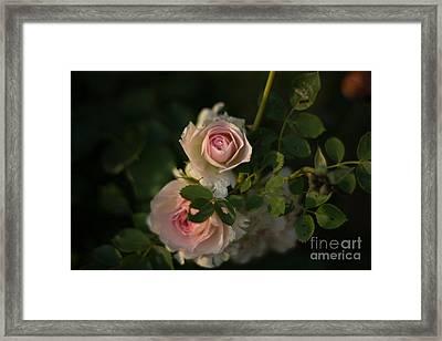 Roses At Sunset Framed Print