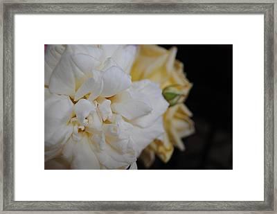 Roses Framed Print by Bransen Devey