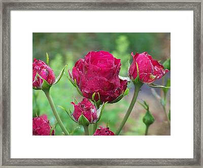 Roses Budding Framed Print by Laurie Kidd