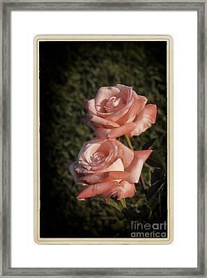 Roses In Bloom Framed Print by Stefano Senise