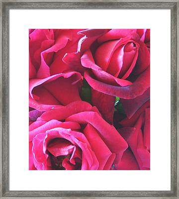 Roses Like Velvet Framed Print